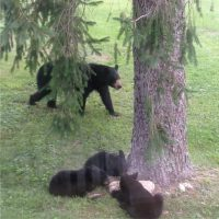 Bear visitors in my yard
