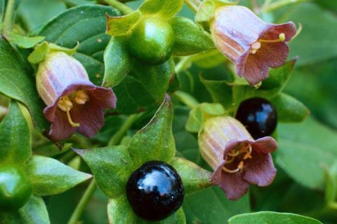 Belladonna Deadly Nightshade Spirit Medicine Bloom Post
